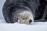 Adult Sea Otter (Enhydra lutris) resting in snow on old boat dock,  Prince William Sound, Alaska.