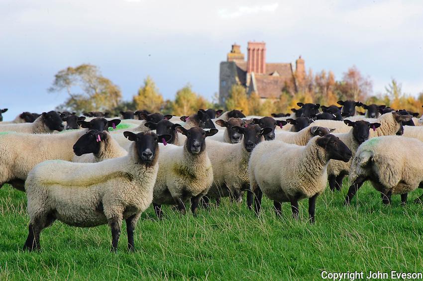 Suffolk Mule ewes, Shropshire.