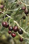Olives et Oliviers. Parc national des Cinque Terre. Ligurie. Italie.