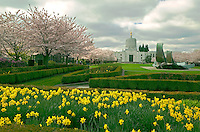 State capitol grounds with flowering cherry trees and dafodils. Salem, Oregon
