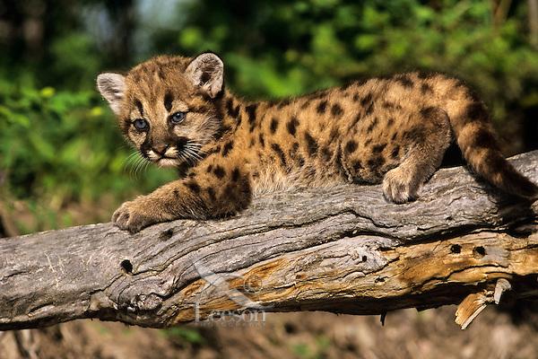 Mountain lion, cougar, or puma (Felis concolor) cub, Western U.S.