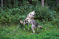 Wolf, Wölfe, Canis lupus, gray wolf, grey wolf, Le Loup gris