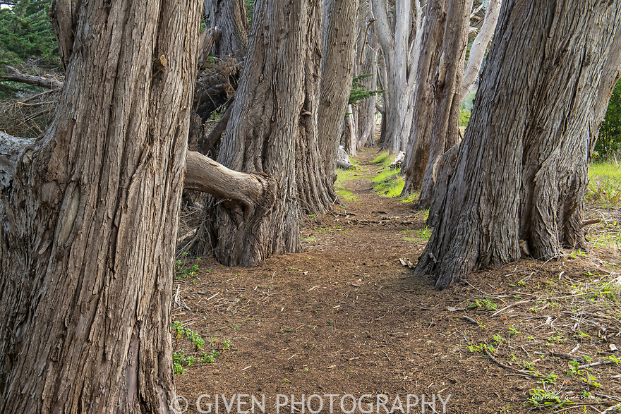 Cypress Trees and Trail on the Mendocino Coast, California