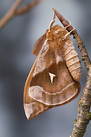 Nagelfleck, Männchen, Aglia tau, Tau Emperor, male, La Hachette, Pfauenspinner, Saturniidae