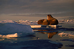 Three Atlantic walruses nap on the ice in Ellesmere Island, Canada.