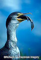 00673-00105 Double-crested cormorant (Phalacrocorax auritus) eating fish  Everglades NP   FL