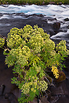 Cow Parsnip along a mountain stream, Iceland