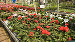 Geraniums plants on display inside nursery greenhouse