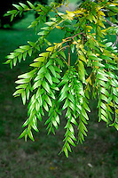Honey Locust Gleditsia triacanthos (Fabaceae) HEIGHT to 45m <br /> Tall deciduous tree with a high, domed crown; bole, branches and twigs are spiny. BARK Greyish purple. BRANCHES Mainly level, with curled twigs. LEAVES Alternate, either pinnate, with up to 18 pairs of 2–3cm-long leaflets, or bipinnate, with up to 14 leaflets no more than 2cm long. Leaf axes end in spines. REPRODUCTIVE PARTS Tiny flowers open in June, are no more than 3mm long, may be male, female or both, and grow in compact clusters in leaf axils; greenish-white oval petals number from 3 to 5. Flattened pods with thickened edges, to 45cm long, are twisted or curved and become dark brown when ripe. STATUS AND DISTRIBUTION Native of Mississippi basin of N America, planted here for ornament.