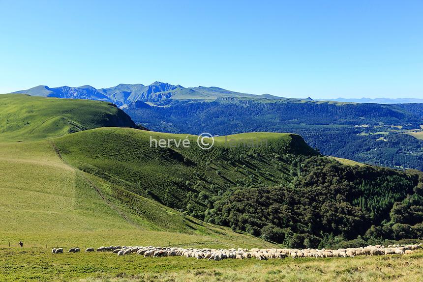 France, Puy-de-Dôme (63), Murat-le-Quaire, la Banne d'Ordanche ( 1 512 m), berger et moutons et paysages sur les monts du Cantal // France, Puy de Dome, Murat le Quaire, Banne d'Ordanche ( 1 512 m), shepherd and sheep and landscapes of the mountains of Cantal
