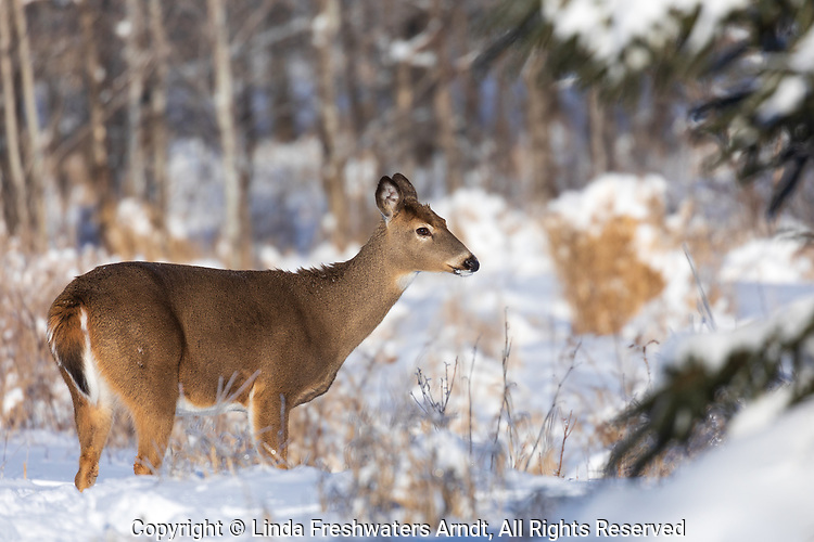 White-tailed doe standing in the Wisconsin snow.