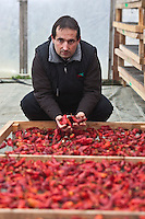 Europe/France/Aquitaine/64/Pyrénées-Atlantiques/Pays Basque/Espelette: A l'Atelier du Piment chez Ramuntxo Pochelu producteur de Piments d'Espelette[Non destiné à un usage publicitaire - Not intended for an advertising use]