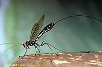 1W17-009z  Giant Ichneumon Wasp - Megarhyssa atrata - parasitic wasp