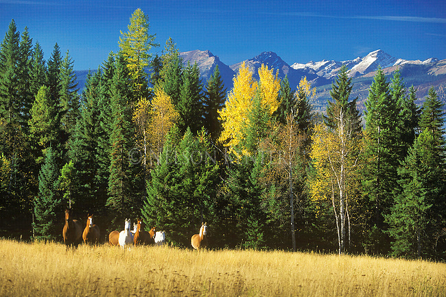 A herd of horses in a meadow in the Seeley Swan Valley in western Montana with the Mission Mountains in the background