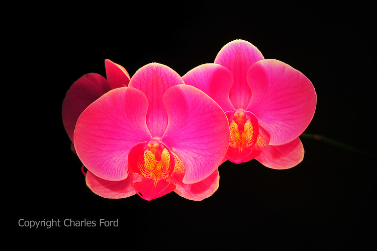 Orchid blooms against black background.
