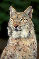 657149005 portrait of a lyxn felis lynx a wildlife rescue animal near its enclosure at a wildlife rescue facility - species is endangered in the wild