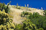 Flowing yucca and ? trees cover a hillside in the Santa Ynez Mountains,  Los Padres National Forest, Santa Barbara County, CA.