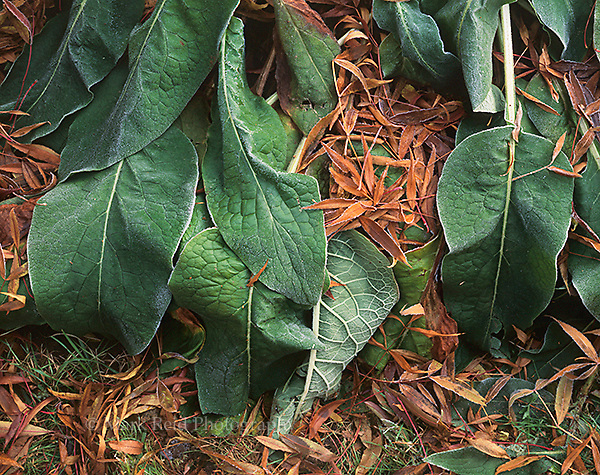 Leaves of a Comfrey Plant