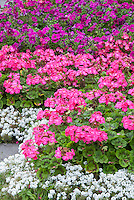 Geranium, Begonia, Petunia Alyssum in shades of pinks and purples and white