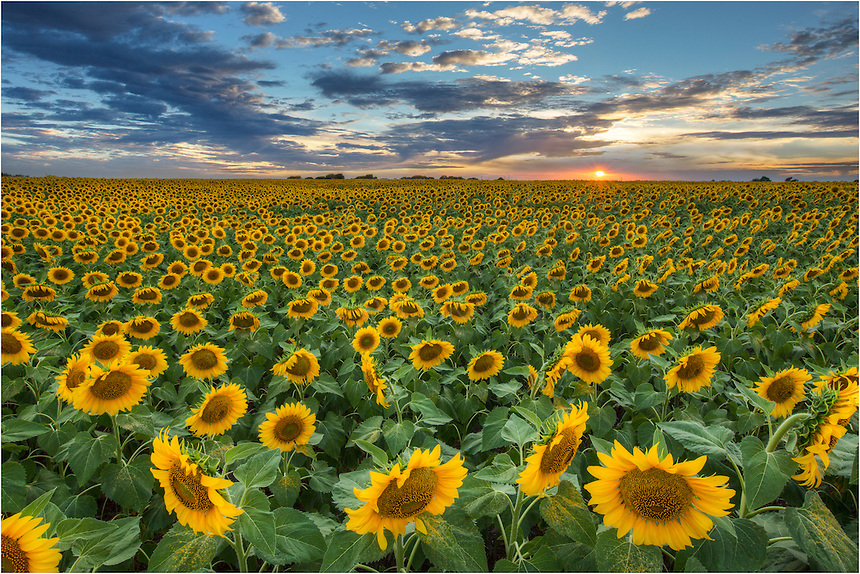 On a trek to Dallas I discovered this gem - sunflowers stretched to the horizon. As far as Texas wildflower opportunities, this was one of the most amazing sights I'd ever encountered. I returned here several times to capture this field of gold, and it did not disappoint.<br /> <br /> Sometimes you just get lucky. Witnessing this golden Sunflower Field was truly an amazing experience.