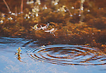 A mating pair of variegated meadowhawks, Sympetrum corruptum, deposits eggs in the water at Saratoga Spring in Death Valley National Park, California