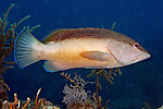 Cephalopholis fulva, Coney, Florida Keys