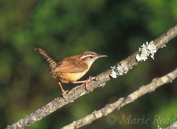 Carolina Wren (Thryothorus ludovicianus), adult, St. Charles, Arkansas, USA Slide # B134-150