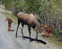Moose with two calves. Her ears are back so don't mess with the calves.