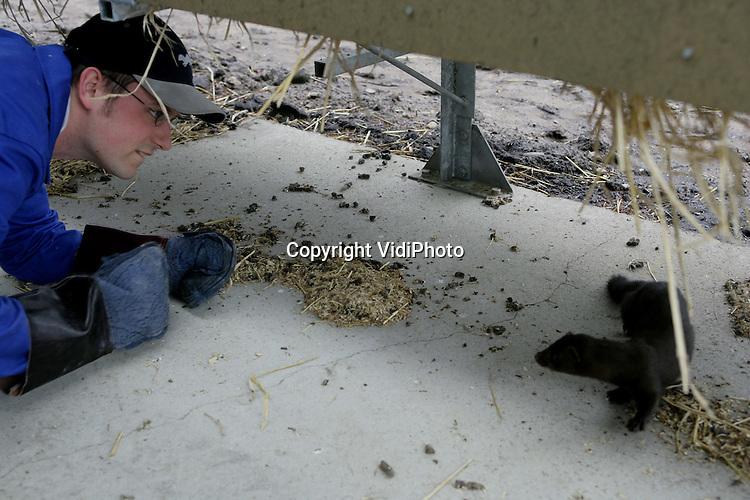 Foto: VidiPhoto..EDERVEEN - Een nerts ontsnapt op onderzoeksaccomodatie voor de pelsdierhouderijen Edelveen in Ederveen.