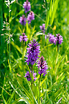 WASSENAAR - Wassenaarse Golf Club Rozenstein. Wilde orchideen. COPYRIGHT KOEN SUYK