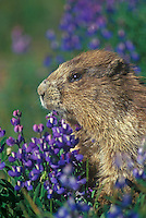 Olympic Marmot in lupines, Olympic National Park, Washington