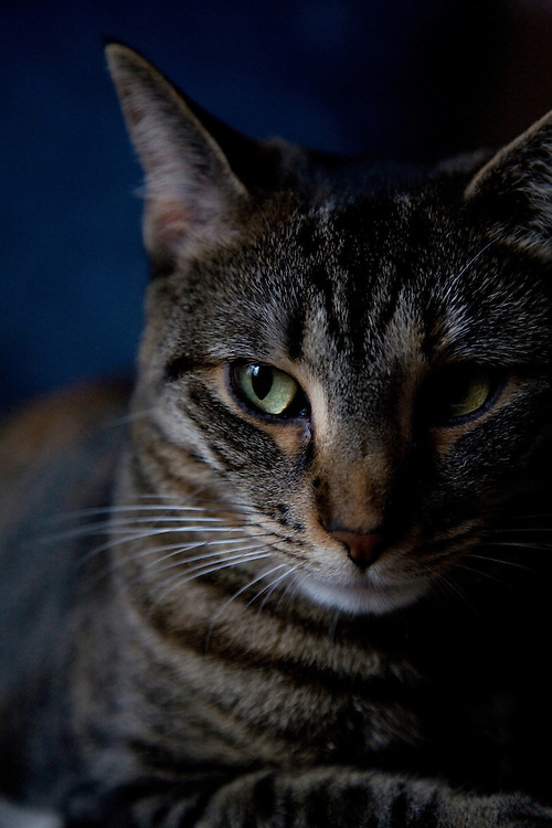 Tabby cat portrait, head shot, looking to the side.