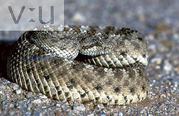 Mojave desert Sidewinder ,Crotalus cerastes cerastes,