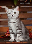 Carl, ANIMALS, photos(SWLA3840,#A#) Katzen, gatos