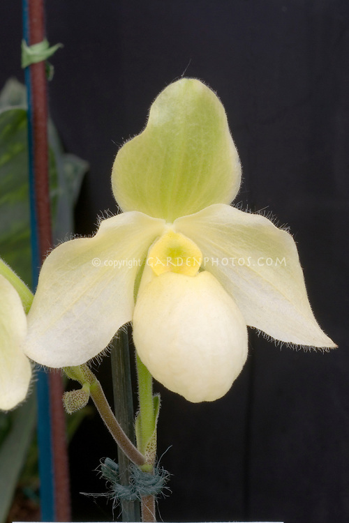 Paphiopedilum Becky Fouke primulinum orchid hybrid in pale yellow and cream bloom