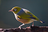 Silvereye at a sugar water feeding station. .Silvereye's (Zosterops lateralis) also known as Wax eye's or White eyes are a small passerine that is native to New Zealand and Australia and can be found in most settled habitat. They feed on insects, nectar, fruit and berries and are more noticeable in flocks during the winter months. They are easily attracted to feeding stations where sugar water and fruit are available and can be quite aggressive towards each other with displays of wing fluttering and beak clattering. Their origin in New Zealand isn't clear as they were only first observed here in 1832 and could have been swept eastward from Australia by storm or possibily followed a ship across the Tasman Sea. Their Maori name Tauhou (Little Stranger) reflects their recent arrival.
