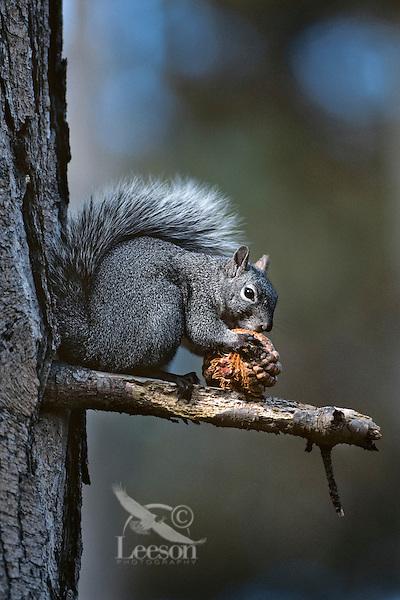 Wesern gray squirrel (Sciurus griseus) eating cone
