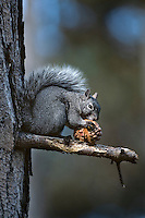 Wesern gray squirrel (Sciurus griseus) eating cone