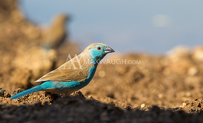 Blue waxbills are small, fast and often hard to photograph.