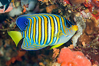 Regal Angelfish, Pygoplites diacanthus, Babylon dive site, Reta Island, near Alor, Indonesia, Pacific Ocean
