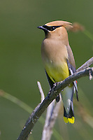 Cedar Waxwing perched on a branch - polarizer