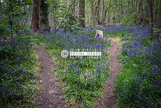 Bluebell wood, Essex UK