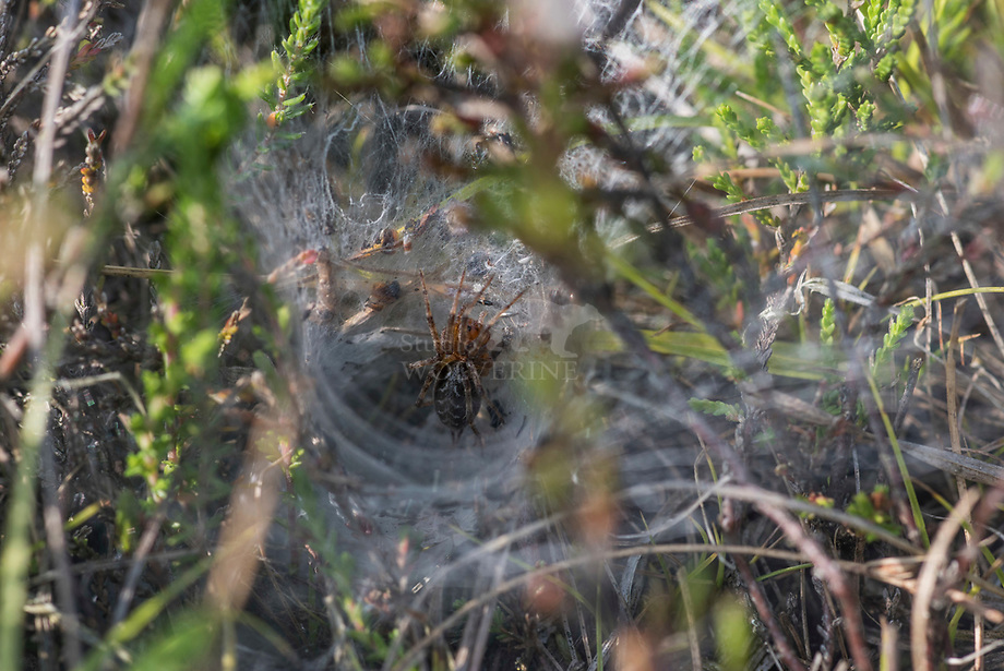 Gewone doolhofspin (Agelena labyrinthica)