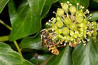 Bog Hoverfly - Sericomyia silentis - male