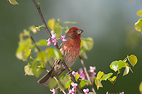 Male House Finch (Carpodacus mexicanus). Great Lakes Region.