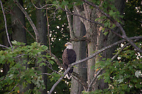 bald eagle perched in tree in Bangor, MI Taken by TJ
