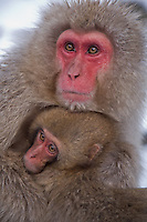 Jigokudani National Monkey Park, Nagano, Japan<br /> Japanese Snow Monkeys (Macaca fuscata) in hot spring waters of Jigokudani monkey park in the Yokoyu River valley, mother with young monkey