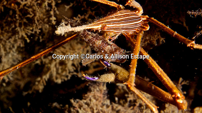 Stenorhynchus  seticornis, Arrow Crab, Blue Heron Bridge, Florida