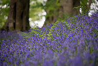 A fern in Bluebells, Whitewell, Lancashire.
