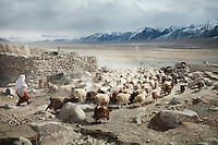 A herd leave in the morning. The greatest number of Kyrgyz livestock is comprised of sheep and goats. The latter are used to keep the sheep moving...Kyzyl Qorum, campment of the former deceased Khan, Abdul Rashid Khan..Trekking with yak caravan through the Little Pamir where the Afghan Kyrgyz community live all year, on the borders of China, Tajikistan and Pakistan.